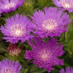 Honeysong Purple Stokesia Daisy, Stoke's Aster
