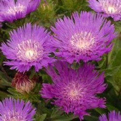 Honeysong Purple Stokesia Daisy, Stoke's Aster
