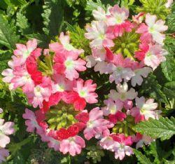 Lanai® Twister Pink Verbena