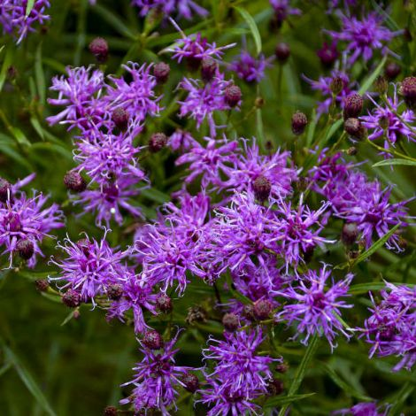 Southern Cross Ironweed