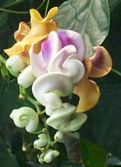 Corkscrew Flower, Shell Vine, Caracalla Vine, Snail Vine