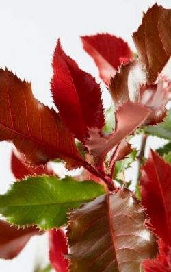 Volcano™ Hybrid Red Tipped Photinia