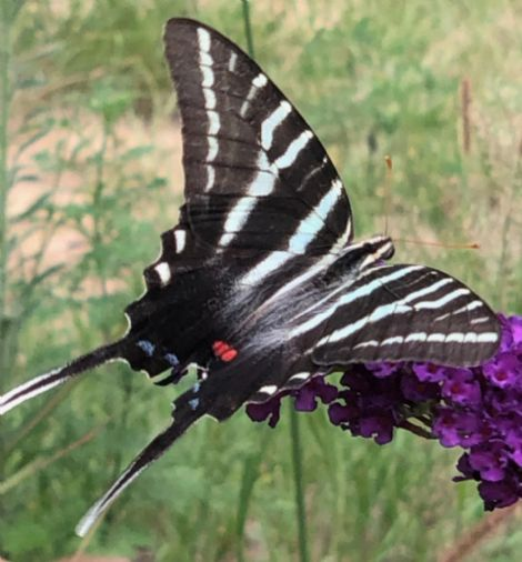 Black Knight Butterfly Bush, Buddleja