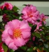 Dwarf Sasanqua Camellias (2 to 5 feet high)