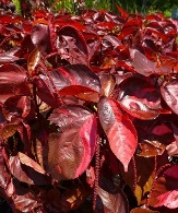 Red Foliage/Stems or Marked with Red