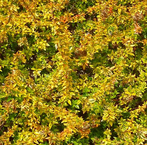 Francis Mason Golden Variegated Abelia
