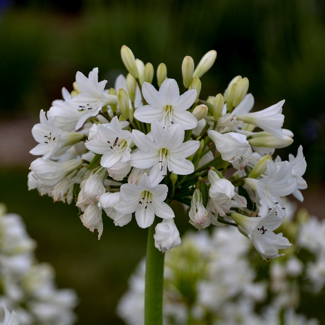 Galaxy White Agapanthus, Lily of the Nile