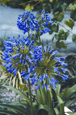 Stevie's Wonder Lily of the Nile, Agapanthus