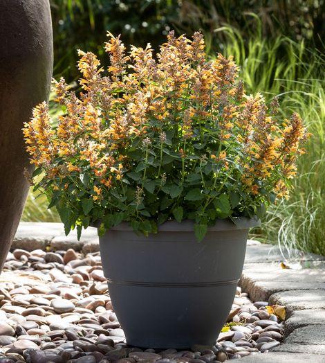 First Light® Sunrise™ Orange Agastache, Hummingbird Mint