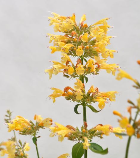 First Light® Sunrise™ Yellow Agastache, Hummingbird Mint
