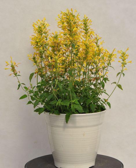 First Light® Sunrise™ Yellow Agastache, Hummingbird Mint