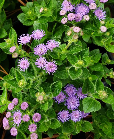 Artist Blue Ageratum Floss Flower Tropical Plants Almost Eden