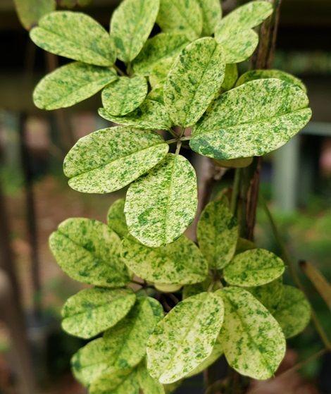 Variegated Purple Five-leaf Akebia, Chocolate Vine