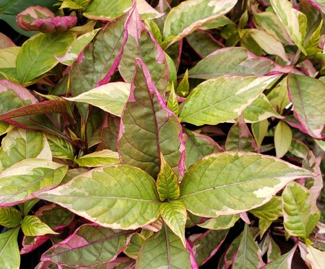 Brazilian Red Hots Alternanthera, Joseph's Coat, Parrot Leaf