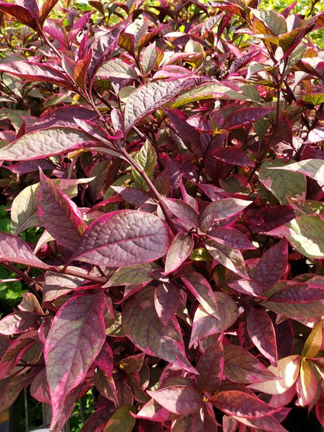 Brazilian Red Hots Alternanthera, Joseph's Coat, Parrot Leaf