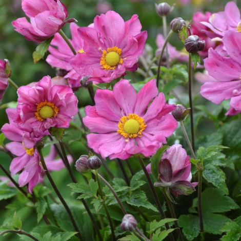 Curtain Call Deep Rose Japanese Anemone, Windflower