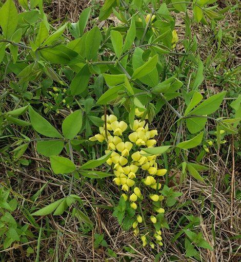Long-Bract Wild Indigo, Cream False Indigo, Plains Wild Indigo, Prairie Wild Indigo, Paque-Paque Plant, Pock-Pock Plant