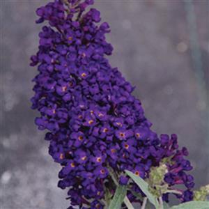 Buzz™ Midnight Butterfly Bush, Buddleja