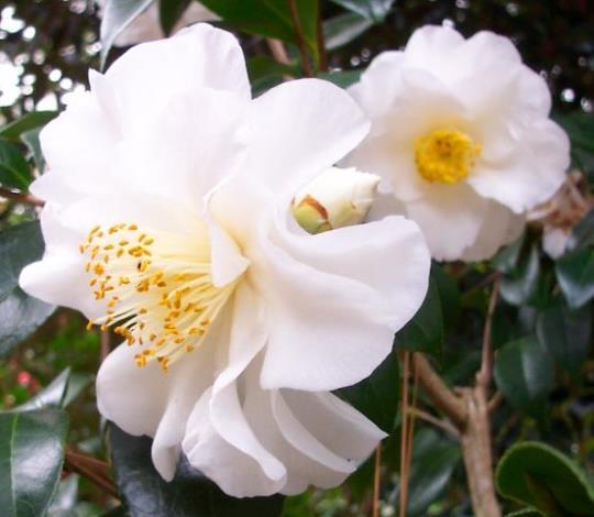 Daijokhan Camellia