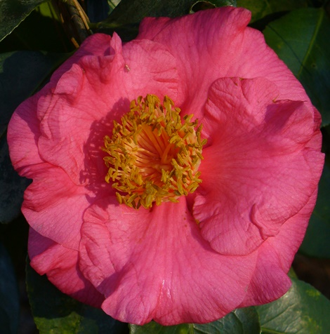 R.L. Wheeler Camellia