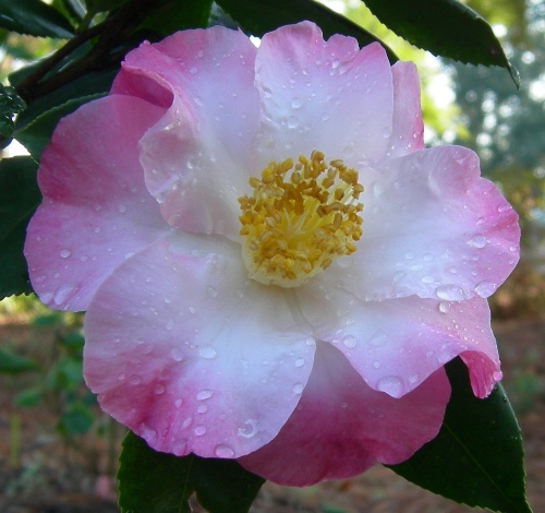 Star Man™ Camellia