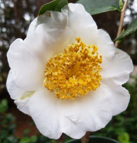 White Mermaid Camellia, Goldfish Camellia, Oak-Leaf Camellia