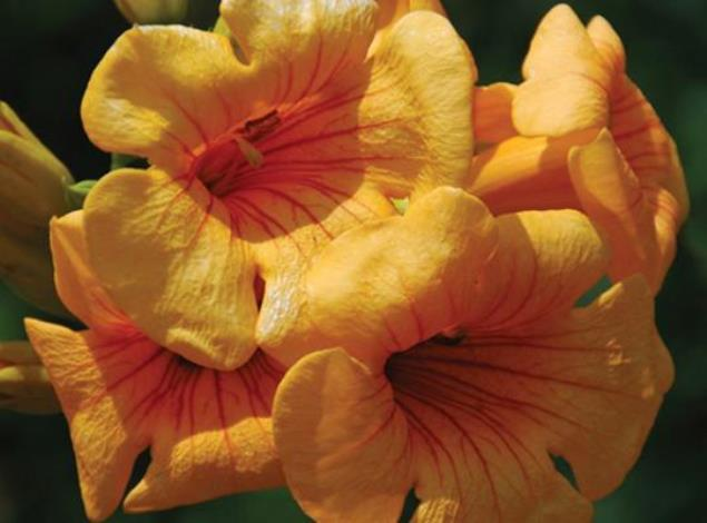 Summer Jazz™ Sunrise Gold Trumpet Creeper, Campsis