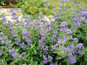 Blue Empire™ Bluebeard, Spiraea, Caryopteris
