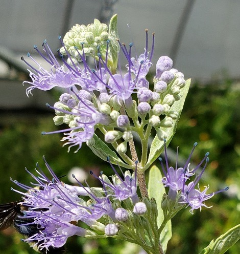 Longwood Blue Bluebeard, Spiraea, Caryopteris