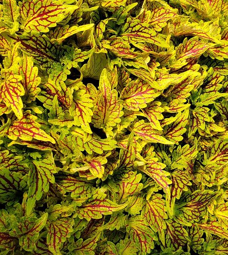 Under the Sea™ Fishnet Gold Coleus, Painted Nettle