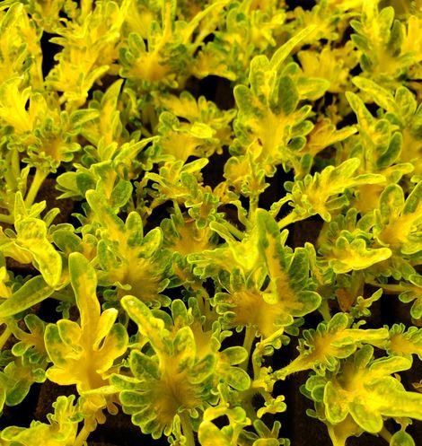 Under the Sea™ Golden Guppy Coleus, Painted Nettle