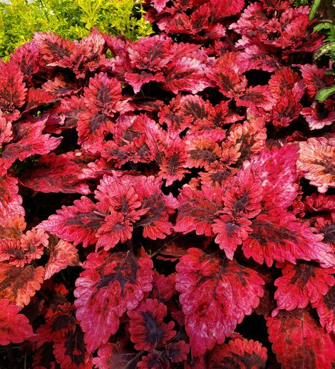 Under the Sea™ Red Snapper Coleus, Painted Nettle