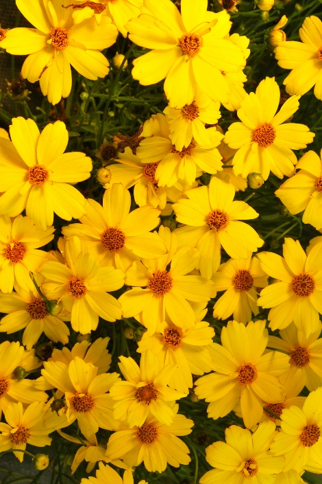 JEWEL™ Citrine Coreopsis, Tickseed