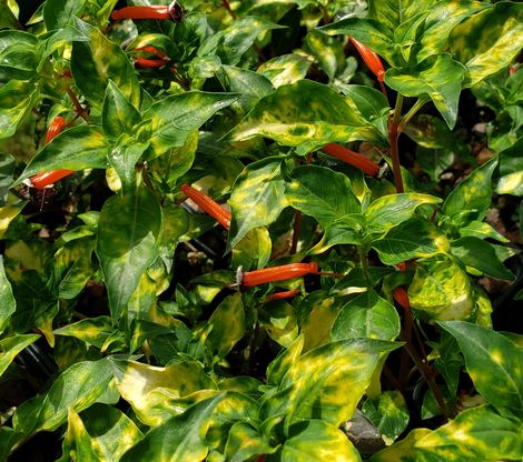 Eye of the Tiger Variegated Cigar Plant, Cuphea