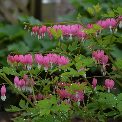 Old Fashioned Bleeding Heart, Dicentra, Venus's Car, Lady-In-A-Bath, Lady's Locket, Lyre Flower, Heart Flower
