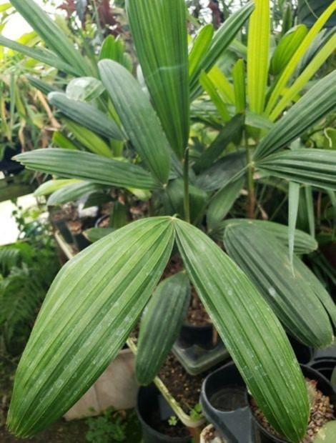 Miniature Lady Palm, Bamboo Palm, palm