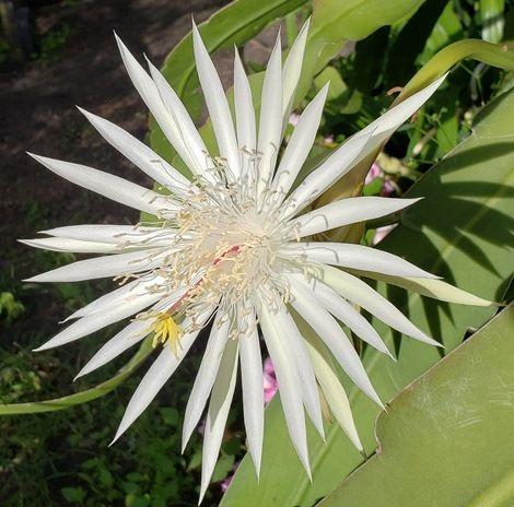 Almost Eden White Orchid Cactus, Epiphyllum