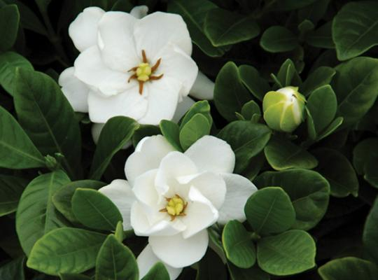 Buttons Gardenia