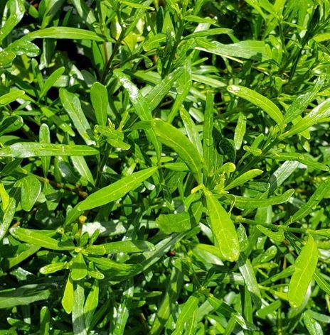 Fragrant Pathways Dwarf Gardenia