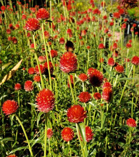 Forest™ Red Gomphrena, Rio Grande Globe Amaranth