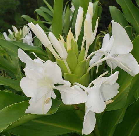 White Butterfly Ginger, Garland Flower