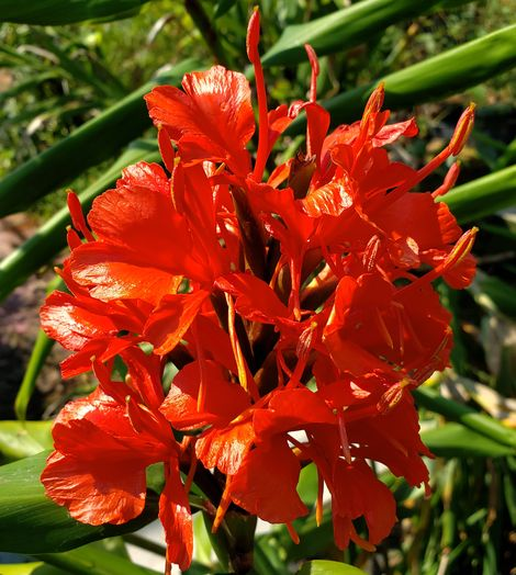 Red Butterfly Ginger (Red to Orange-Red)
