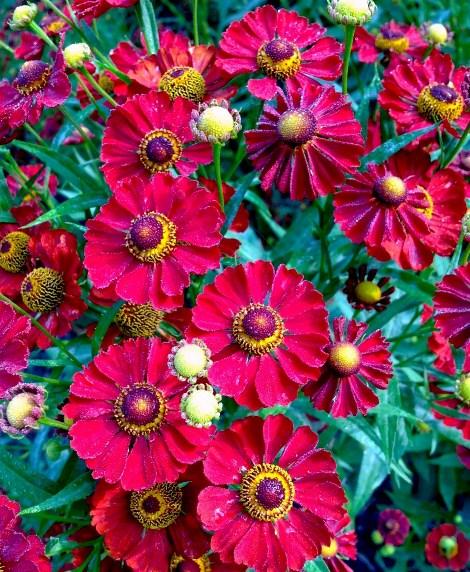 Mariachi™ Siesta Helenium, Helen's Flower, Dogtooth Daisy, Sneezeweed