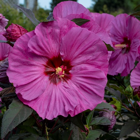 Summerific® Berry Awesome Perennial Hibiscus, Hardy Hibiscus