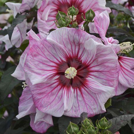 SUMMERIFIC® Cherry Choco Latte Perennial Hibiscus, Hardy Hibiscus