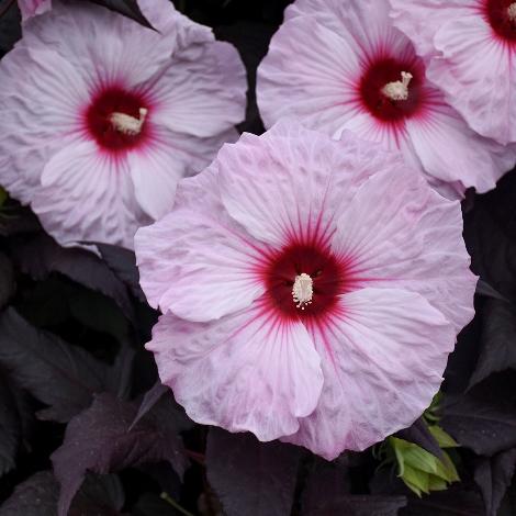 Dark Mystery Perennial Hibiscus, Hardy Hibiscus