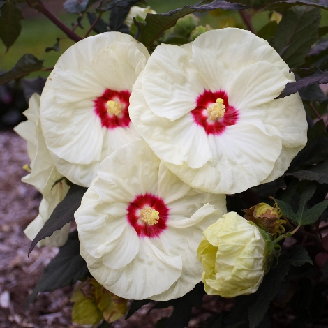 Summerific® French Vanilla Perennial Hibiscus, Hardy Hibiscus