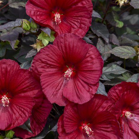 SUMMERIFIC® Holy Grail Perennial Hibiscus, Hardy Hibiscus