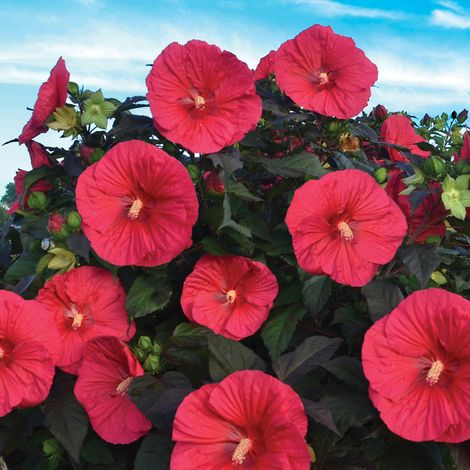 Mars Madness Perennial Hibiscus, Hardy Hibiscus