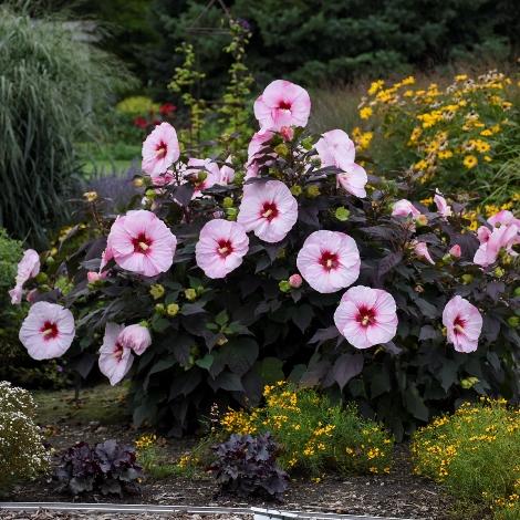 Summerific® Perfect Storm Perennial Hibiscus, Hardy Hibiscus